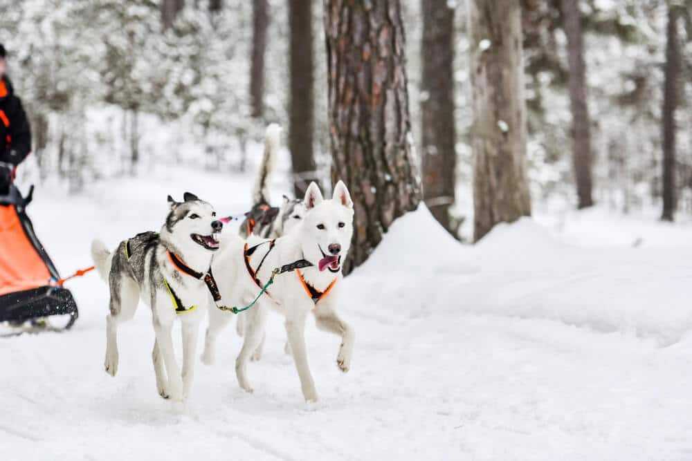 Photo of a Group of Pups Dog Sledding in Colorado.